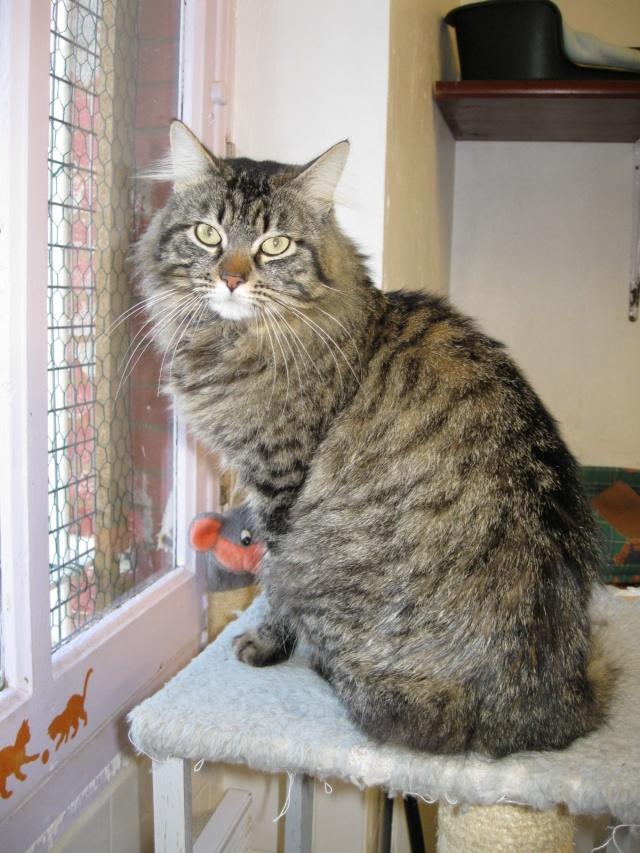 Pedu à Toulouse, Dali, chat tigré poils longs- mai 2009 Img_0611