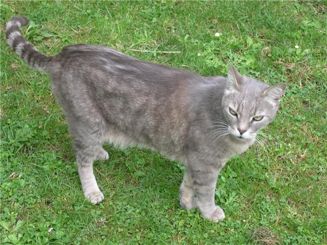 Perdu La Salvetat, Alex, chat mâle tabby gris- mars 09 Perdua11