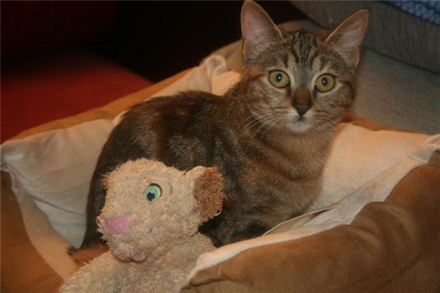 Perdu Cugnaux, Diwane, chat femelle tigrée 6 mois Perdud10