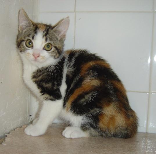 Perdu mars 2009 à Colomiers, chatte tricolore 10 mois Perdud11