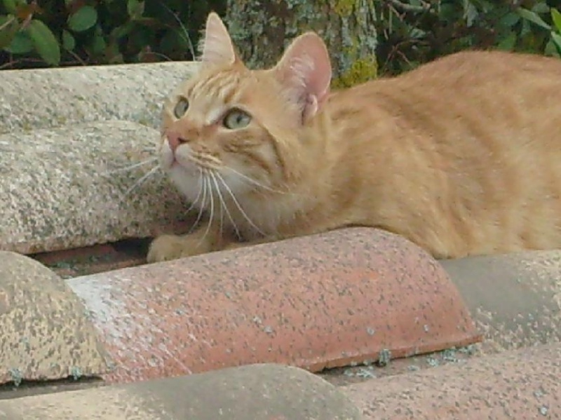 Perdu dali, chat roux, Lèguevin - mai 2009 Perdud15