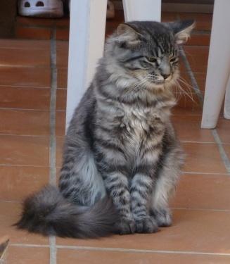 Perdu Django, chat tigré gris poils longs- Cépet, juin 2009 Perdud18