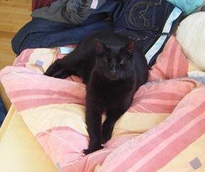 Perdu chat noir- Colomiers septembre 2009 Perdur11