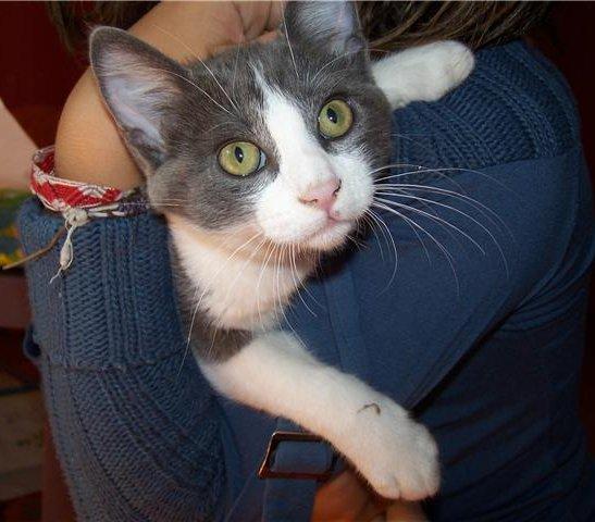 Trouvé chaton gris et blanc, Colomiers- Septembre 2009 Trouve16