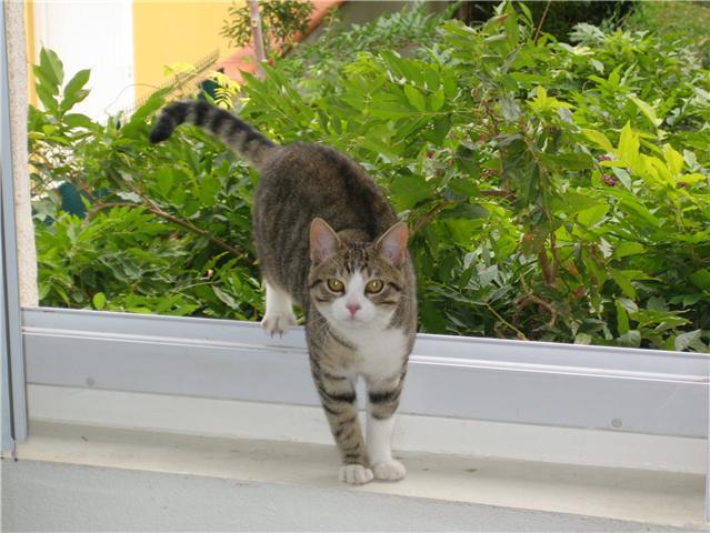 Trouvé chat tigré et blanc- Colomiers, novembre 2009 Trouve19