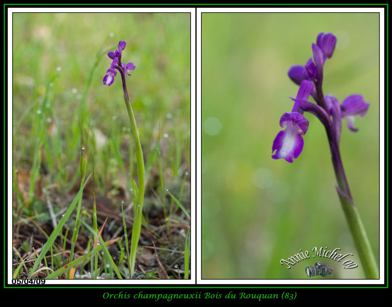 Anacamptis champagneuxii ( Orchis de Champagneux ) 02-img31