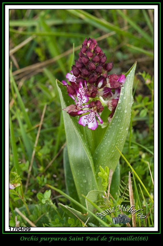 Orchis purpurea ( Orchis pourpre ) 02-img43