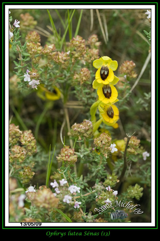Ophrys lutea ( Ophrys jaune ) 02-img47