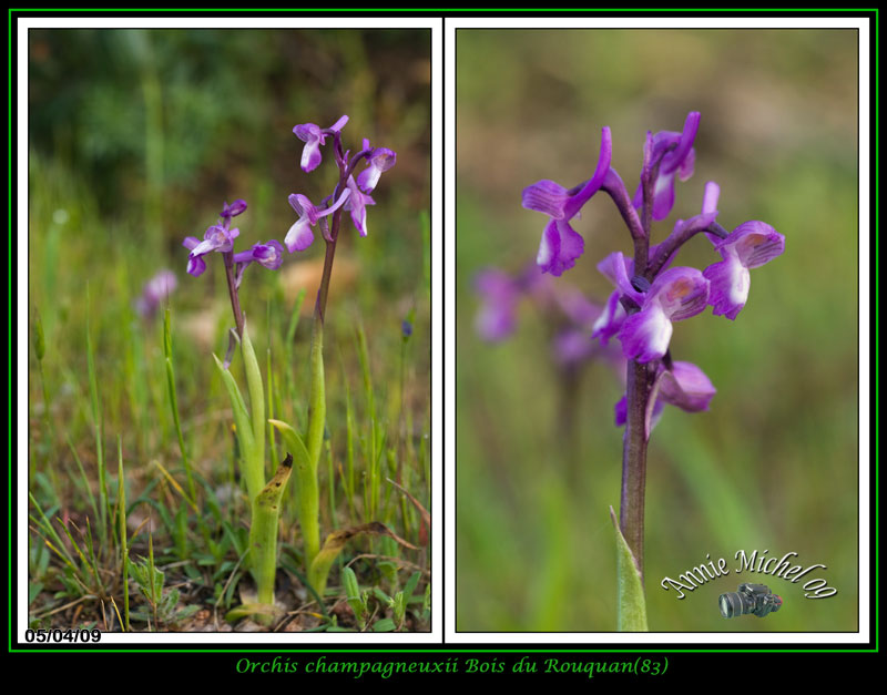 Anacamptis champagneuxii ( Orchis de Champagneux ) 03-img29