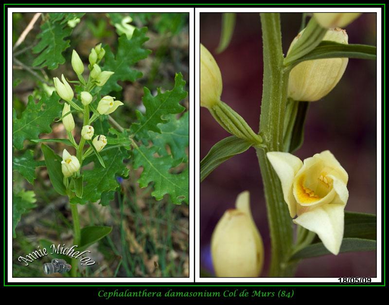 Cephalanthera damasonium( Céphalanthère à grandes fleurs) 03-img49