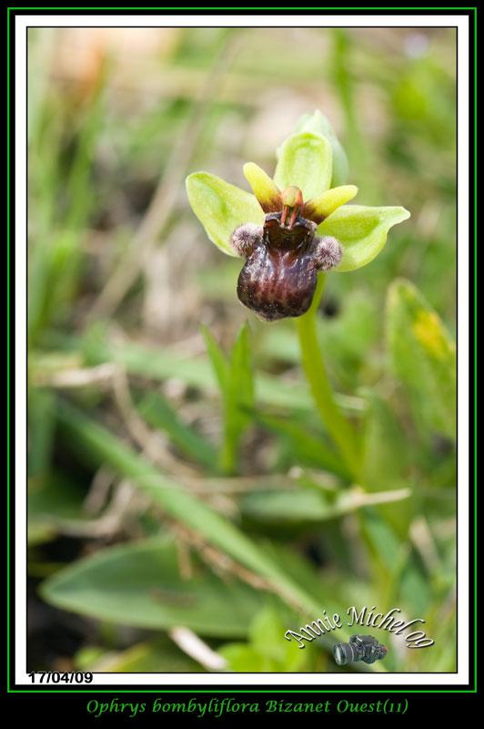 Ophrys bombyliflora ( Ophrys bombyx ) 04-img35