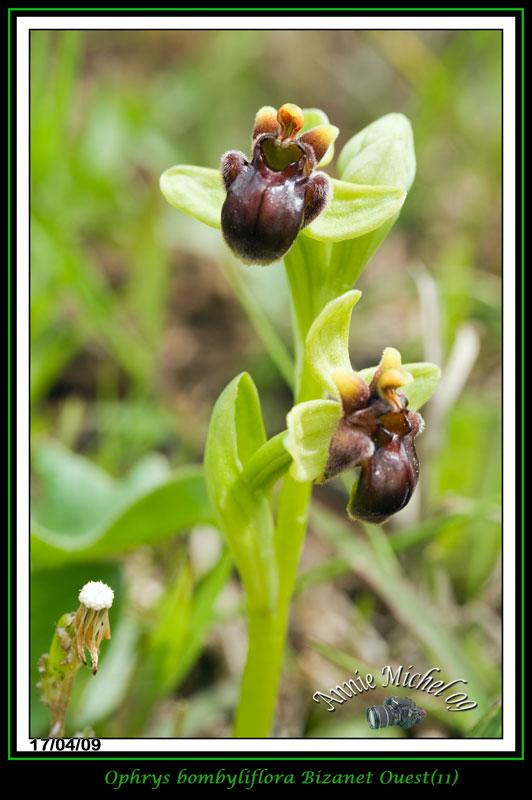 Ophrys bombyliflora ( Ophrys bombyx ) 05-img35