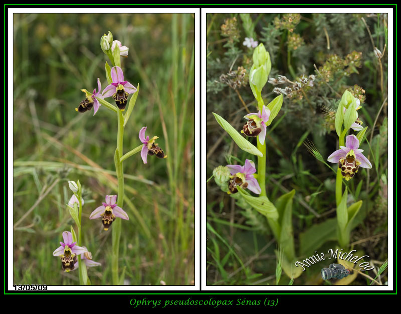 Ophrys fuciflora subspc linearis 05-img45