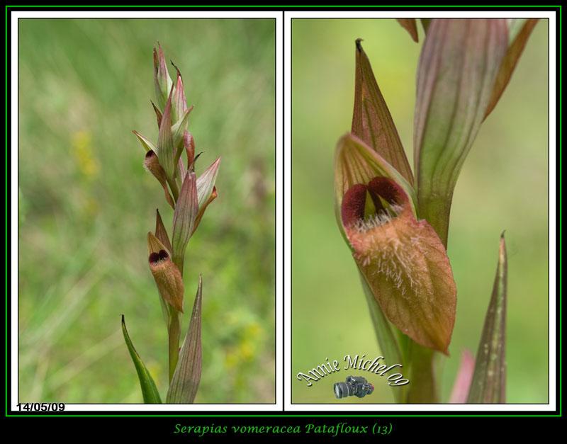 Serapias vomeracea ( Sérapias à labelle allongé ) 06-img38