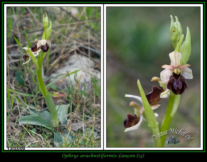 Ophrys exaltata arachnitiformis ( O. en forme d'araignée ) 09-img15