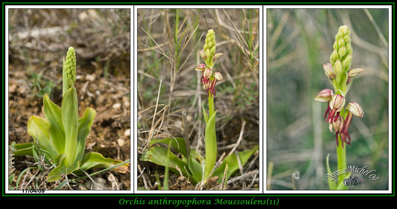 Orchis anthropophora ( Homme pendu ) 09-img28