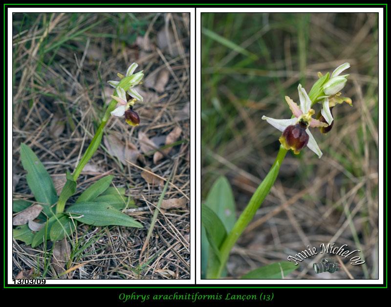 Ophrys exaltata arachnitiformis ( O. en forme d'araignée ) 10-img13