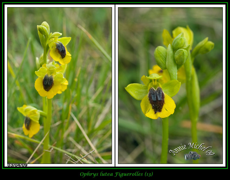 Ophrys lutea ( Ophrys jaune ) 12-img19