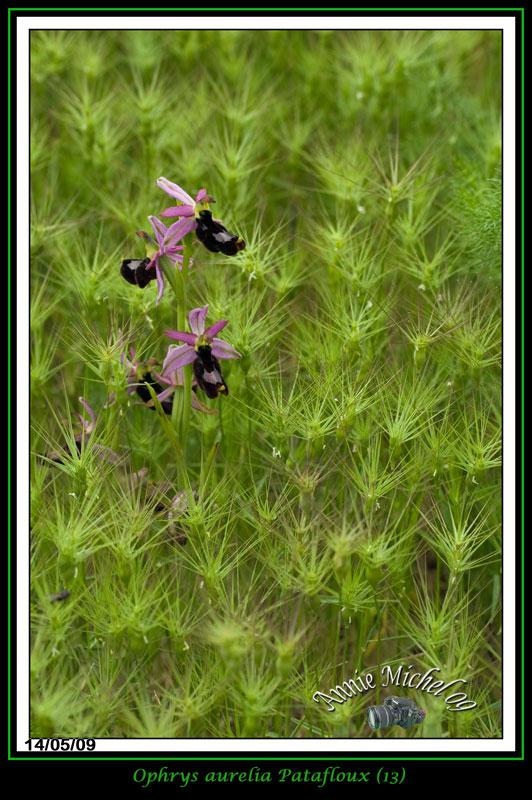 "Ophrys bertolonii bertolonii (""aurelia"") 13-img21"