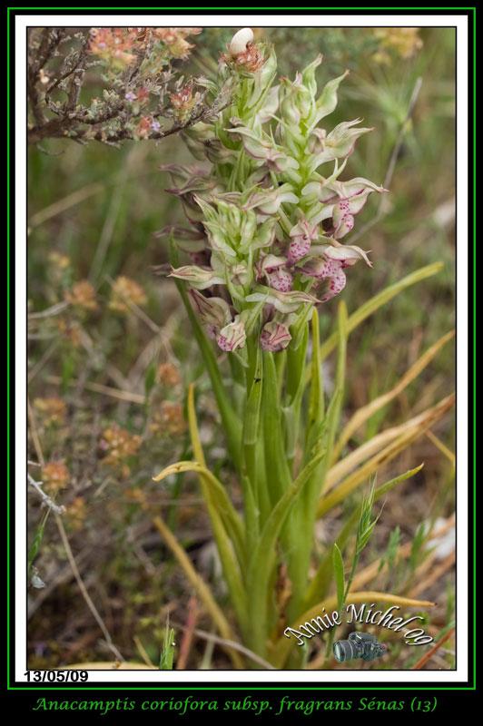 Anacamptis coriophora subsp. fragrans ( Orchis parfumée ) 13-img22