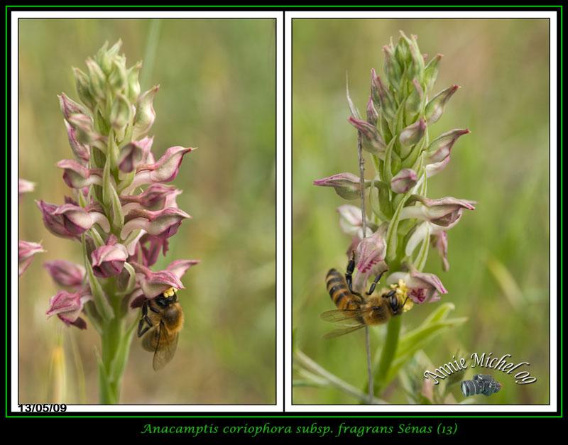 Anacamptis coriophora subsp. fragrans ( Orchis parfumée ) 14-img19