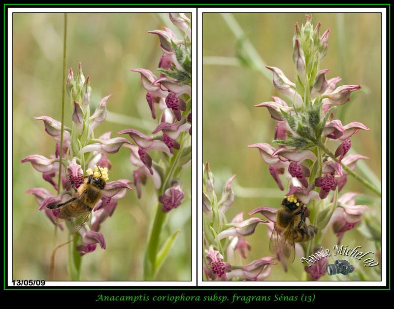Anacamptis coriophora subsp. fragrans ( Orchis parfumée ) 15-img13
