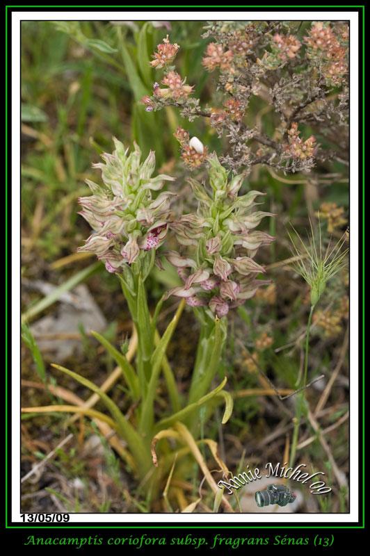 Anacamptis coriophora subsp. fragrans ( Orchis parfumée ) 16-img12
