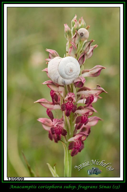 Anacamptis coriophora subsp. fragrans ( Orchis parfumée ) 17-img11
