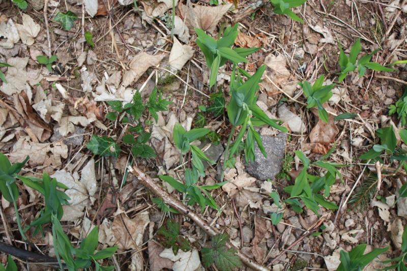 Sceau de salomon / Polygonatum odoratum Img_2717