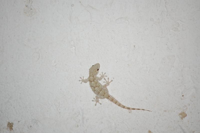 gecko Dsc_0130