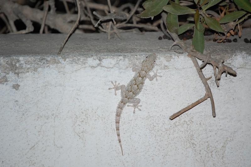 gecko Dsc_0131