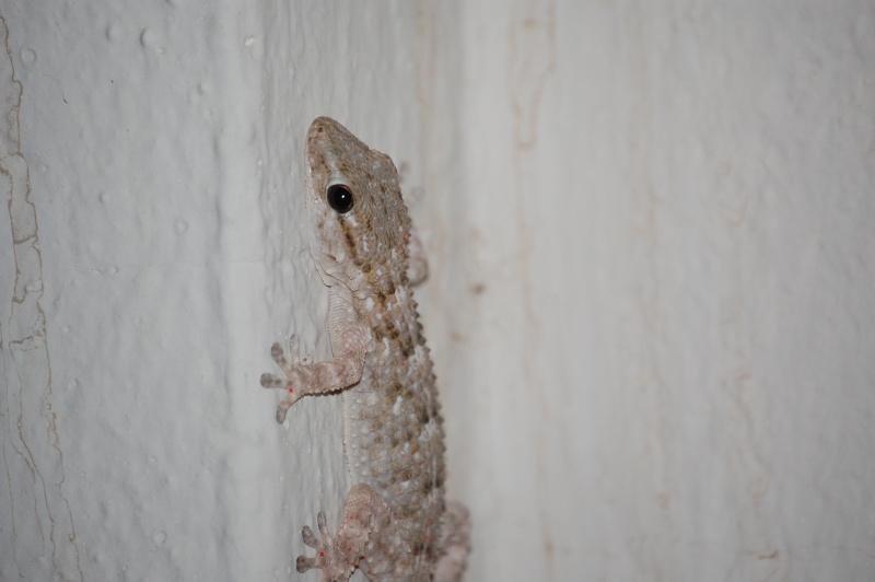 gecko Dsc_0132