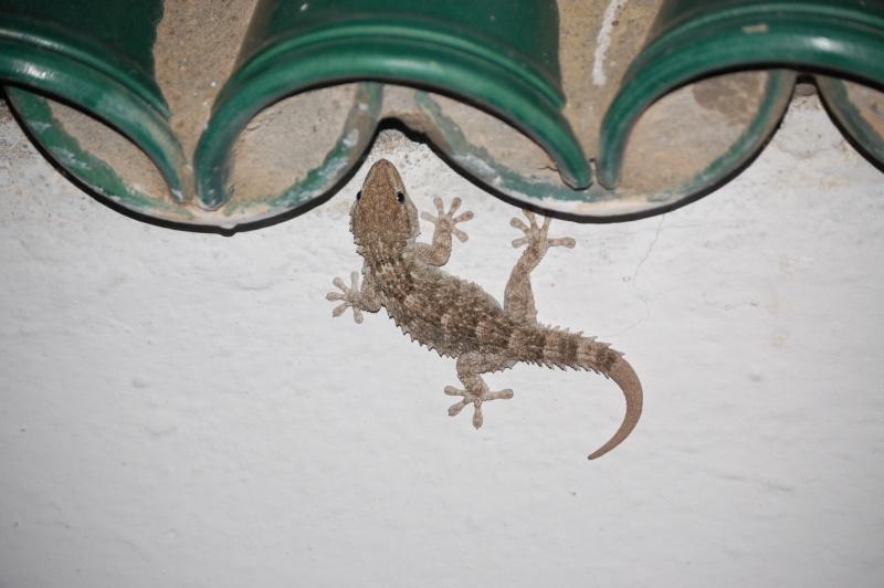 gecko Dsc_0310