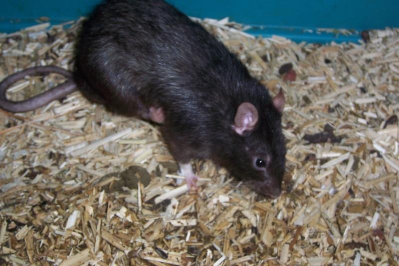 rats nus, dumbo, double rex et standard a adopter (92) Rats_011