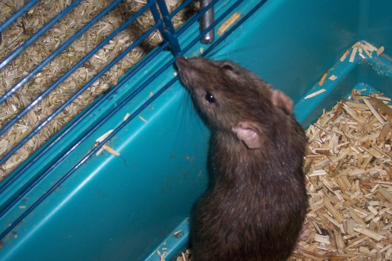 rats nus, dumbo, double rex et standard a adopter (92) Rats_020