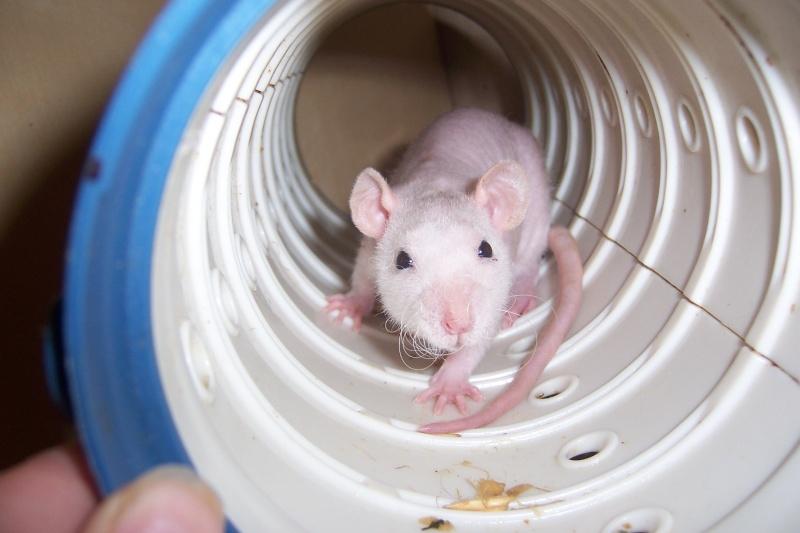 rats nus, dumbo, double rex et standard a adopter (92) Rats_031