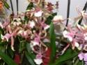 exposition d'orchidées à limoges P1040512
