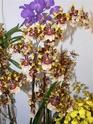 exposition d'orchidées à limoges P1040514