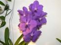 exposition d'orchidées à limoges P1040515
