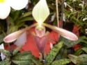 exposition d'orchidées à limoges P1040516
