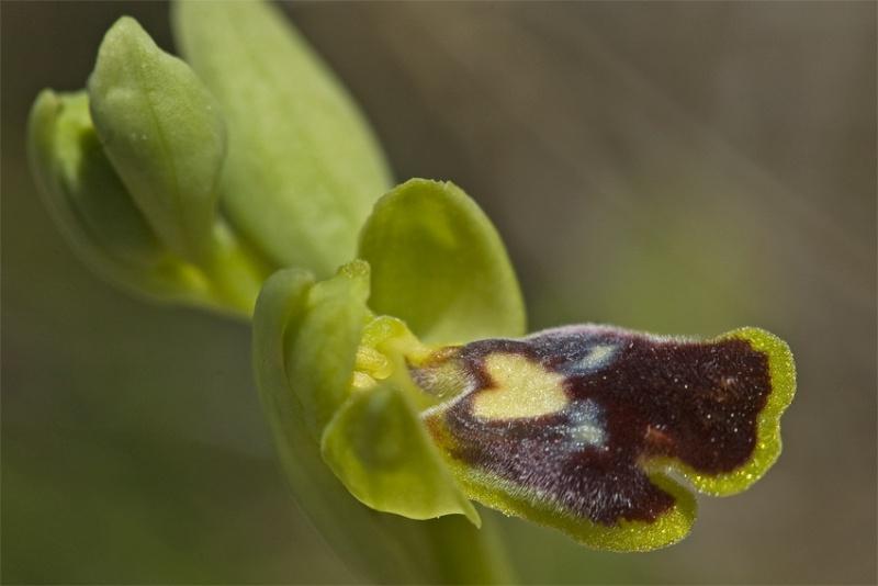 Ophrys as tu du coeur ? Dsc_6010