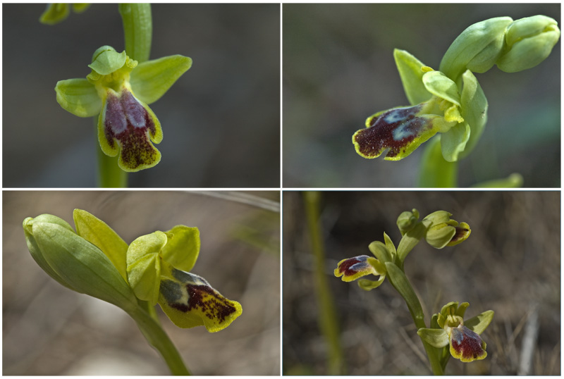 Ophrys delforgei Forest10