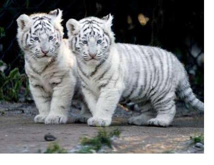 images a voir Tigre_10