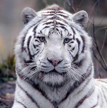 images a voir Tigre_11