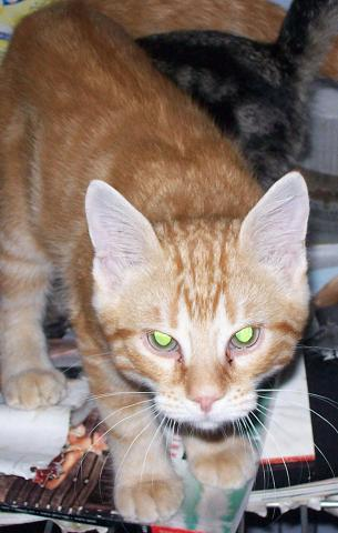 Petit rouquinou chaton mâle (60) 100_2526