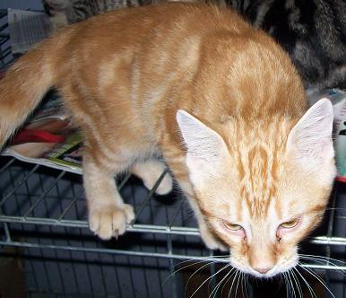 Petit rouquinou chaton mâle (60) 100_2527