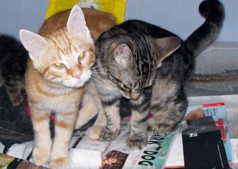 Petit rouquinou chaton mâle (60) 100_2528