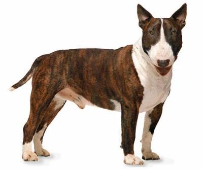 le Bull Terrier 43974510