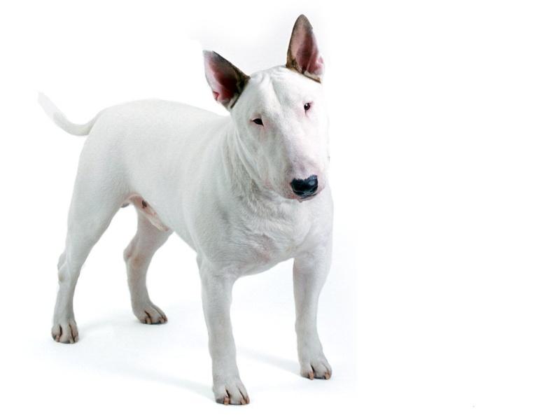 le Bull Terrier Bull_t13