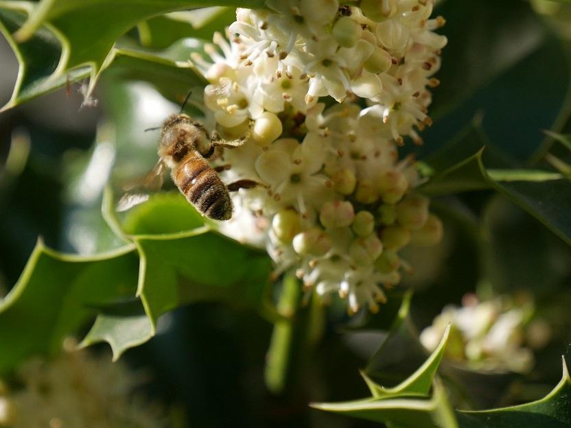 Les abeilles sont Houx A110